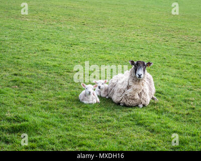 A ewe with two lambs on the Pennine Way long-distance footpath in North Yorkshire, UK, on 16 April 2018. - Stock Photo