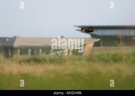 A wild female Marsh harrier (Circus aeruginosus) in flight at RSPB Titchwell, Norfolk - Stock Photo