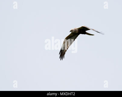A wild male Marsh harrier (Circus aeruginosus) in flight, Norfolk - Stock Photo
