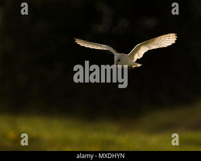 A wild Barn Owl (Tyto alba) in flight at sunset,  Norfolk - Stock Photo