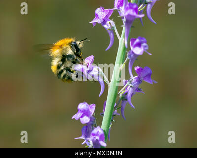 Bumble bee collecting pollen and nectar from a tall purple flowing garden wild flower. - Stock Photo