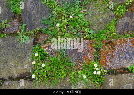 Daisies and other flora in gaps between crazy paving. - Stock Photo
