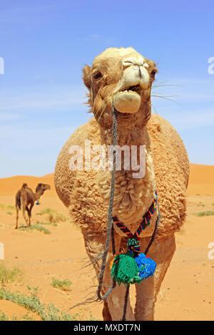Camels in Sahara Desert, Merzouga, Morocco - Stock Photo