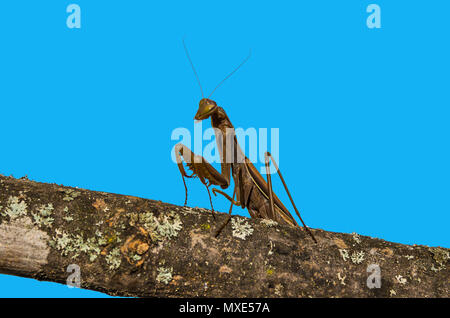 Mantis brown isolated on blue background. - Stock Photo