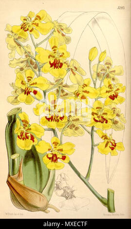. Illustration of Oncidium excavatum . 1862. Walter Hood Fitch (1817-1892) del. et lith. 456 Oncidium excavatum - Stock Photo