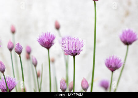 Chives (Allium schoenoprasum) flowering in the garden. These beautiful purple flowers attract bees in the Spring. - Stock Photo