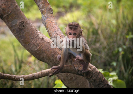 Macaques are the most common type of monkeys that can be found around the temples in Dambulla in Sri Lanka - Stock Photo