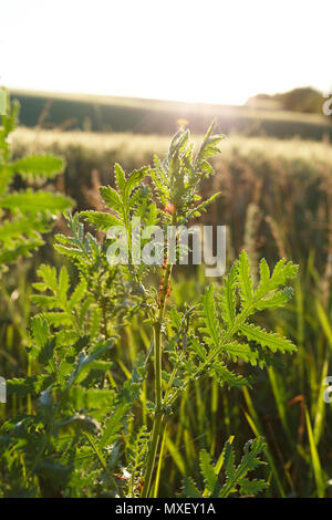 Working ants on the plant at sunset - Stock Photo