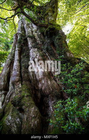 Kigensugi Cedar Tree is estimated to be at least 3000 years old, one of the most ancient trees in Yakusugiland and Yakushima. Its age shows in a drama - Stock Photo