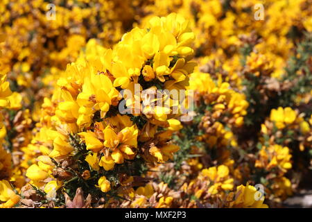 Close up of yellow flowers on gorse bush - Stock Photo