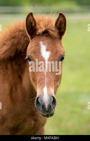 Portrait of beautiful brown colt in summer - Stock Photo