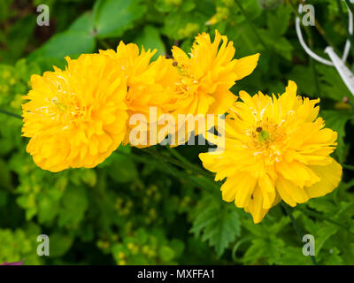 Double form of the yellow flowered Welsh poppy, Papaver cambricum - Stock Photo