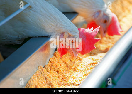Two of white hens pecking forages from the trough. Focus on the first bird - Stock Photo