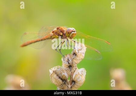 Close-up of a red male vagrant darter, Sympetrum vulgatum, hanging on vegetation - Stock Photo