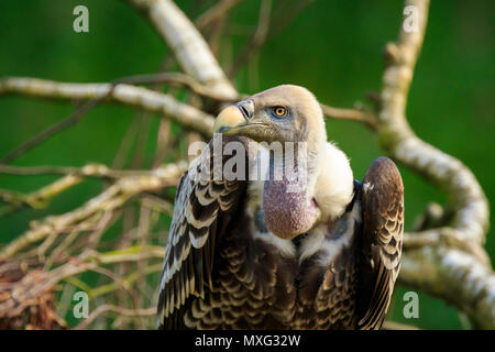 Close up portrait of a Large Eurasian griffon vulture (Gyps fulvus) perched on a branch in a tree. - Stock Photo