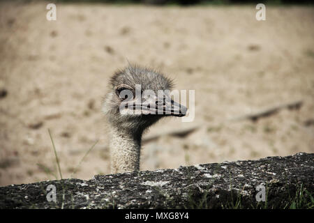 Close up animal portrait of non-flying  bird ostrich under wall - Stock Photo