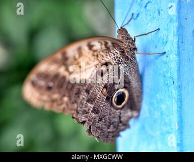 Forest Giant Owl Butterfly Caligo Eurilochus - Stock Photo