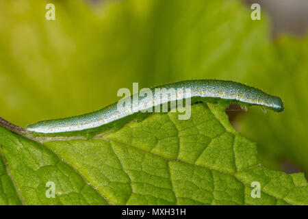 Orange-tip butterfly (Anthocharis cardamines) caterpillar. Camouflaged larva of insect in the family Pieridae feeding on garlic mustard - Stock Photo