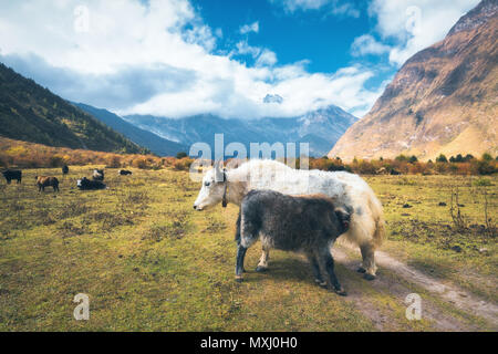 Beautiful white wild yak and amazing baby yak on pasture on the field against Himalayan mountains and blue sky with low clouds in Nepal in summer in s - Stock Photo