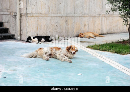 Three stray dogs sleeping on the sidewalk in Durrës, Albania. One dog is black and white, one has a big ear tag.  Friendly looking dogs lying on the p - Stock Photo