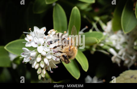close up of a wild bee gathering nectar from white flowers - Stock Photo