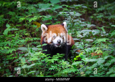 Portrait of an adorable Red Panda , Ailurus fulgens , fire fox surrounded by plants in forest - Stock Photo