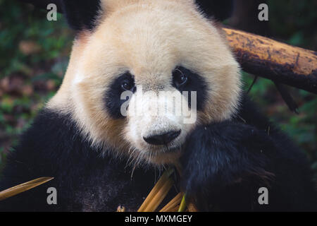 One adult giant panda eating a bamboo stick in close up portrait during day - Stock Photo
