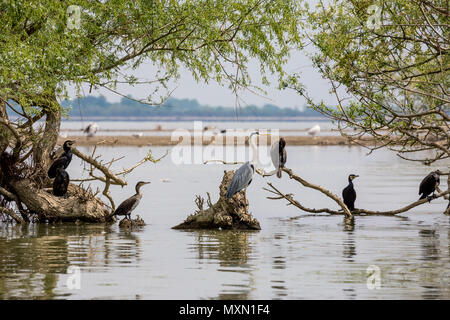Grey heron bird, Latin Ardea cinerea, stands on dead tree amongst several cormorants in the waters of lake Kerkini, Northern Greece under the shadows of willow tree - Stock Photo
