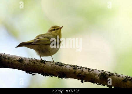 Wood Warbler ( Phylloscopus sibilatrix ), New World Warbler, male in breeding dress, perched on a branch, wildlife, Europe. - Stock Photo