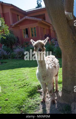 A young llama in Peru South America - Stock Photo