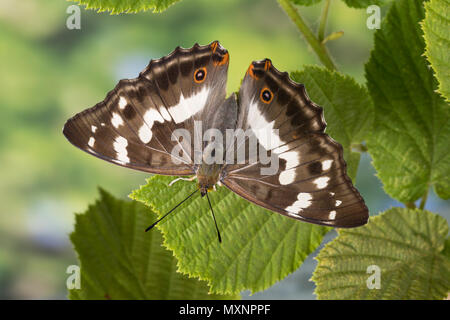 Großer Schillerfalter, Weibchen, Apatura iris, Purple Emperor, female, Le Grand Mars changeant - Stock Photo