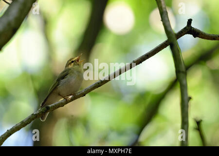Wood Warbler ( Phylloscopus sibilatrix ), New World Warbler, male in breeding dress, perched on a branch, singing, wildlife, Europe. - Stock Photo