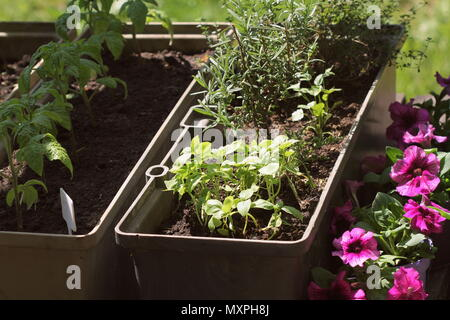 Container vegetables gardening. Vegetable garden on a terrace. Herbs, tomatoes seedling growing in container . Flower petunia in pots - Stock Photo
