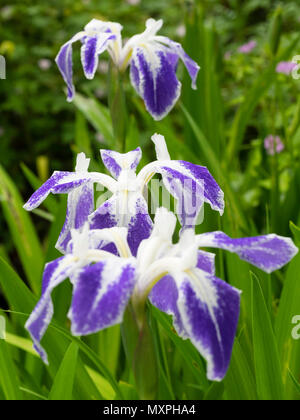 White and blue marked early summer flowers of the marginal aquatic water iris, Iris laevigata 'Colchesterensis' - Stock Photo