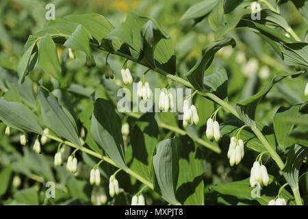 White flowers of Solomon s Seal plant of genus Polygonatum - Stock Photo