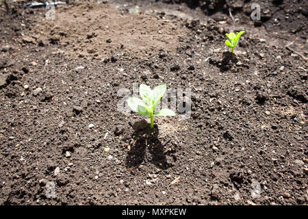 Sprouting malabar spinach on farm ground - Stock Photo