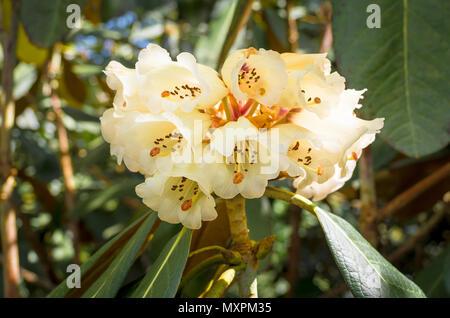 Rhodedendron Falconeri flowering in the UK in Spring - Stock Photo