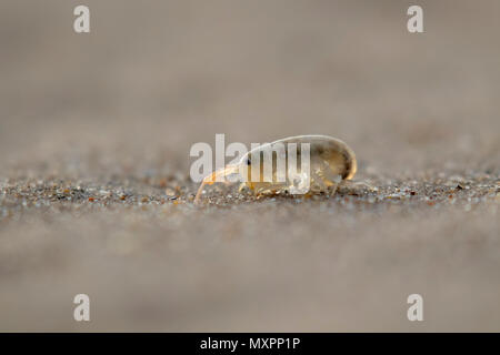 sandhopper, Talitridae, walking, moving, jumping on sand on a scottish beach in May. - Stock Photo