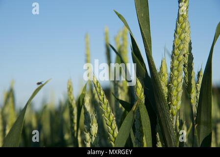 Wheat: still green and growing wheat in the fields of northern France - Stock Photo