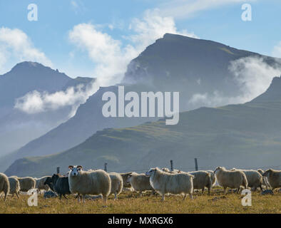 Free Range Sheep Grazing on grass and herbs, Iceland - Stock Photo
