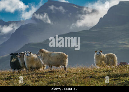 Free Range Sheep grazing on grass and herbs, Eastern Iceland - Stock Photo