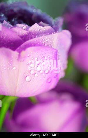 Purple ultra violet rose close up macro photo backround - Stock Photo