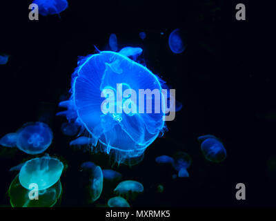 close up of  large bright colorful jellyfishes swimming in the dark water of aquarium.d - Stock Photo