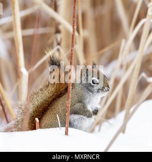 American Red Squirrel in snow, (Tamiasciurus hudsonicus), Manitoba, Canada. - Stock Photo
