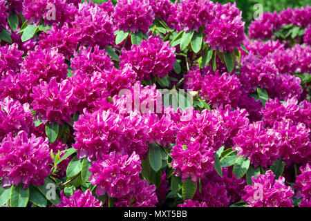 Rhododendron bush covered with a mass of purple flowers - Stock Photo