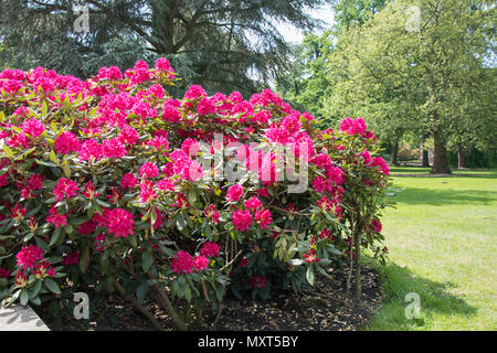 Rhododendron bush covered with red flowers - grass and trees in the background - Stock Photo