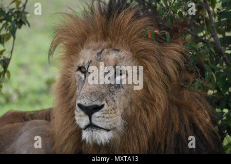 Old male Lion resting in the shade on the Massai Mara plains (Panthera leo). Kenyan Safari, picture taken in the Olare Motorogi Conservancy. - Stock Photo