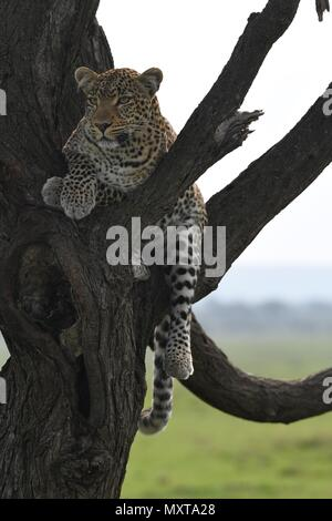 Leopard in tree looking for prey on the Massai Mara savannah. Female leopard (Panthera pardus). Picture taken in the Olare Motorogi Conservancy - Stock Photo