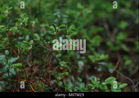 sprouts of blueberry bushes with flowers in the forest close up. - Stock Photo
