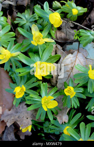 The beautiful bright yellow flowers of Anemone ranunculoides, also known as the yellow wood anemone, or buttercup anemone, viewed from above. - Stock Photo